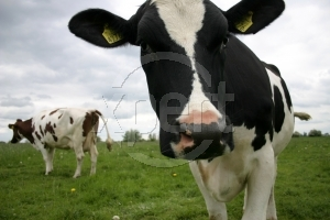 Stock photo cow